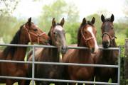 Geruchsbelästigung durch Schweine höher als als durch Pferde