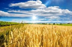Getreideanbau in der Landwirtschaft (© Doris Oberfran-List - Fotolia.com)